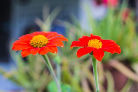Orange Straw flower photo