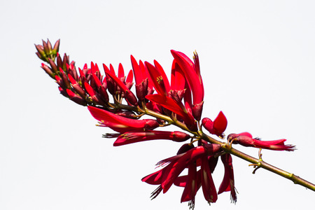 erythrina: Isolated - Erythrina variegata  Parichat flowers  Stock Photo