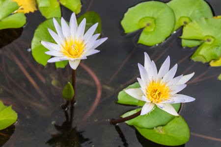 lotus in the pond photo