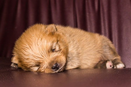 Little fluffy Pomeranian puppy photo