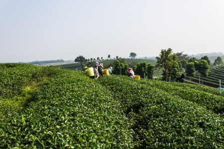 Akha Tea Pickers , Chiangrai Thailand photo