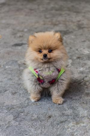 Pomeranian garb photo