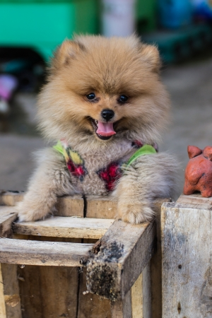 Pomeranian garb photo