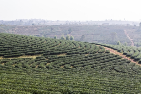 Green Tea Field , Chiangrai In Thailand photo