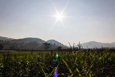Corn farm With sun, light of day in Thailand photo