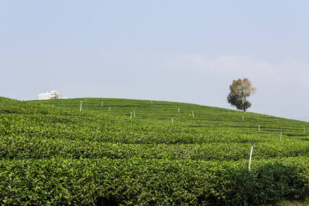 Green Tea Field in Chiangrai, Thailand photo