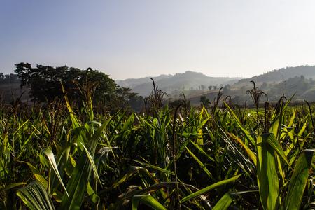 Corn farm in Thailand photo