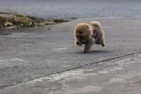 garb: Pomeranian puppy running Stock Photo