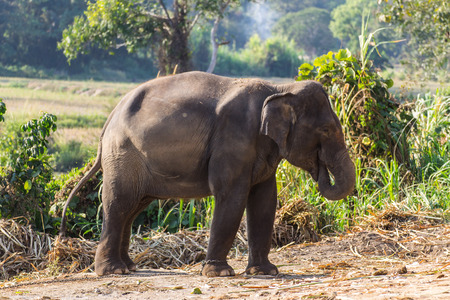 Thai Elephant photo