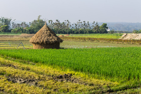 rice field with straw in thailand photo