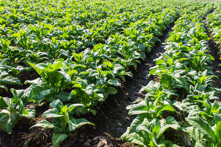 tobacco plants: Tobacco Plants ,Agriculture in Thai