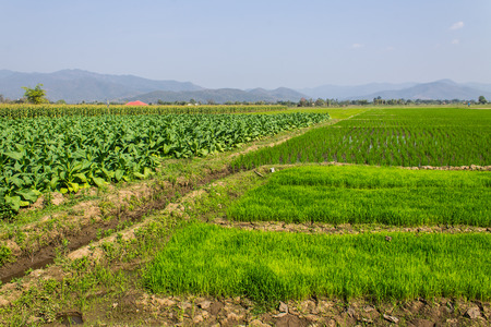 Tobacco Plants, Rice Field And Corn trees photo