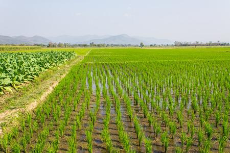 Tobacco Plants, Rice Field And Corn photo