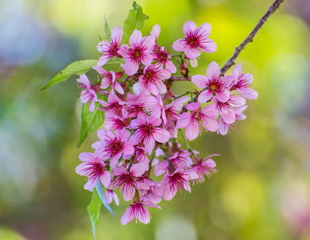 Wild Himalayan Cherry flower ,Thai  Sakura blossom photo