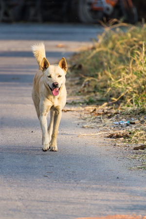 White Thai Dog Walk Stock Photo