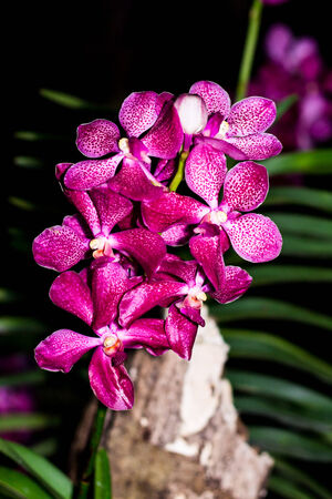 Bunch of pink and white vanda orchid blossom photo