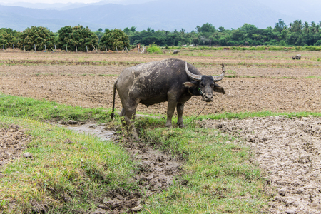 Buffalo in field photo