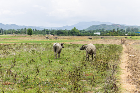 Buffalos in field photo