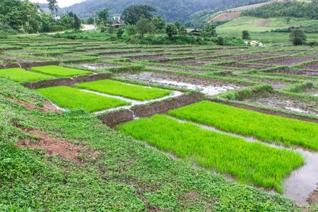 Rice seedlings in Thai photo