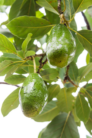 hass: Avocados growing on tree Stock Photo