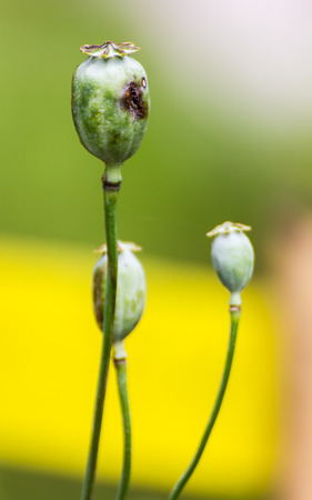 Opium Close-up photo