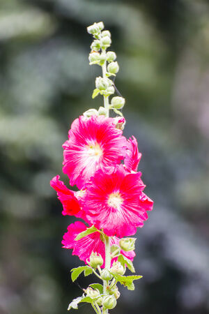 Red Hollyhock photo