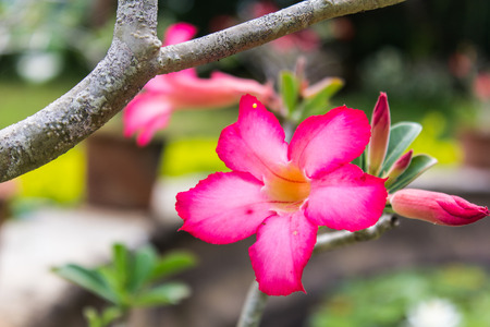 Red Desert Flower, adenium photo