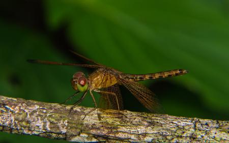 pondhawk: Macro of Dragonfly