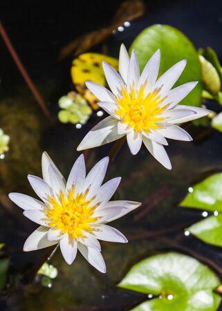 lilia: Loto blanco hermoso en el estanque Foto de archivo