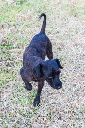 Black shaggy dog walk in Dry lawn photo