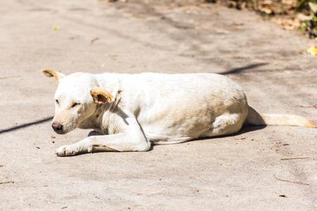 white dog (Thai dog) photo