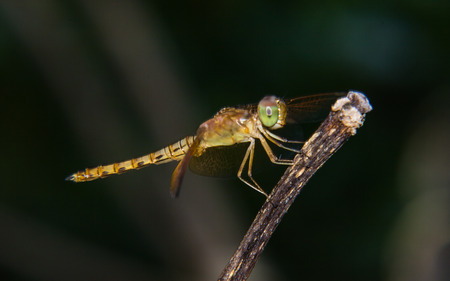 pondhawk: Macro of Dragonfly