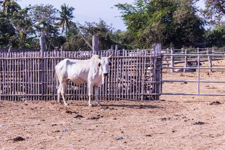 isaan: White Thai cows in farm