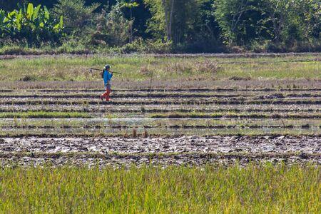 field of thai: Thai farmer in field