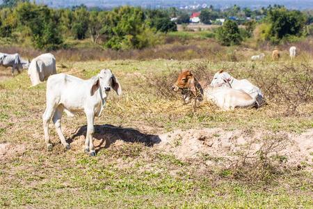 field of thai: Thai cow in field