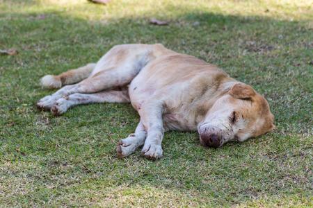 stray: thai stray dog in lawn