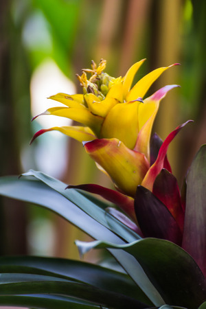 Yellow bromeliad or billbergia pyramidalis Stock Photo