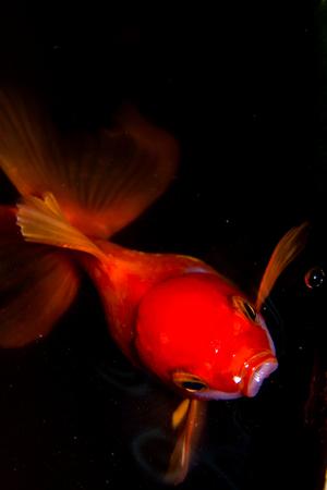 goldfish isolated: goldfish isolated on Black
