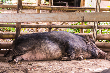 to remain dormant: Thai Boar sleep