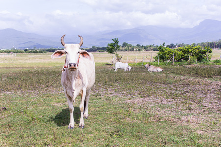 mammal: Thai cow in field, mammal farm Stock Photo