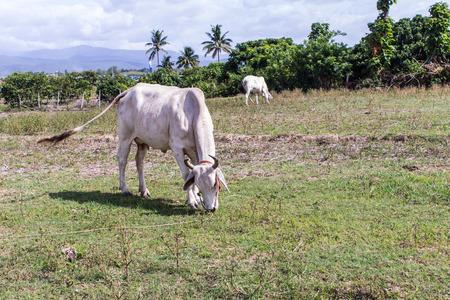 zoogdier: Thaise koe in het veld, boerderij zoogdier