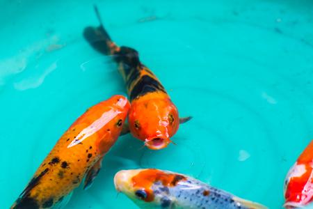 foe: Beautiful goldfishes in pond foe sale Stock Photo
