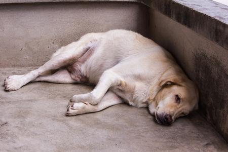 stray: Thai white stray dog