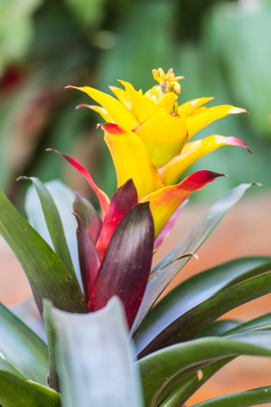 billbergia: Yellow bromeliad or billbergia pyramidalis Stock Photo