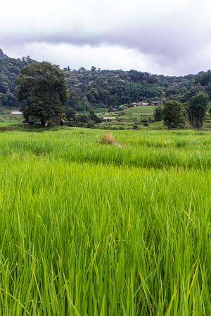 terraced: Terraced Rice Field, Pha Mon Chiangmai Thailand