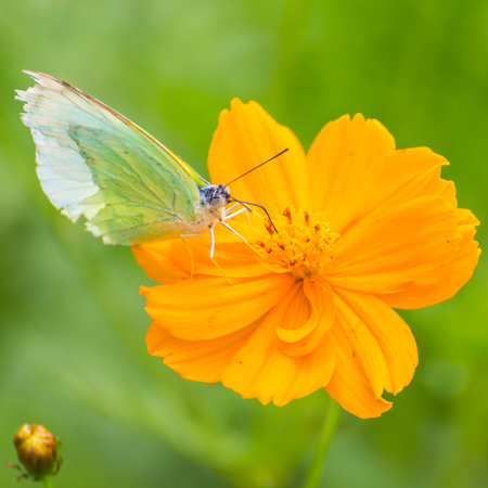 nature background: Butterfly catch on yellow Cosmos flowers