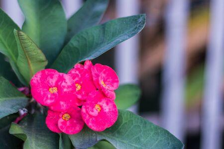 flower thorns: pink Euphorbia milli flower, Crown of thorns Stock Photo