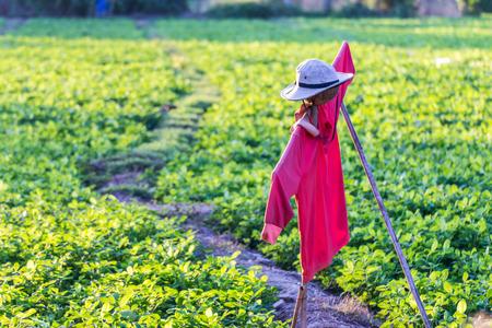 garden bean: scarecrow in bean garden Stock Photo