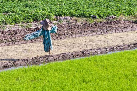 espantapajaros: espantapájaros en campo de arroz