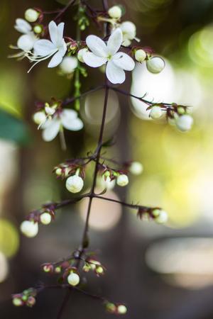 nodding: Beauty Nodding Clerodendron